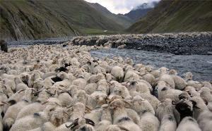 თუშური ცხვარი